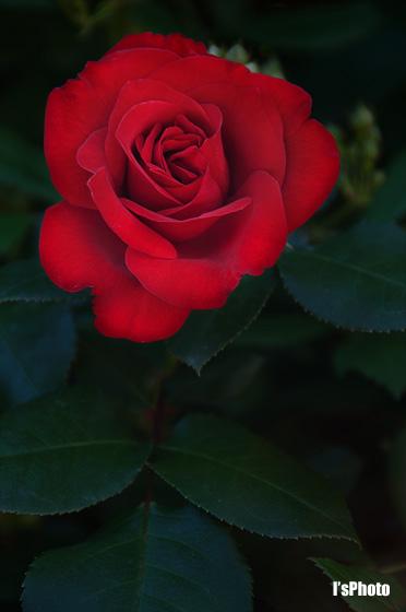 rose1.jpg