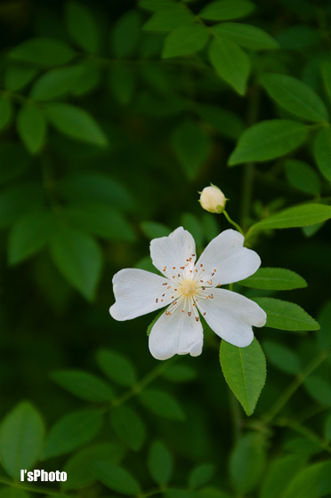 rose6.jpg